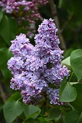 President Grevy Lilac (Syringa vulgaris 'President Grevy') at Arrowhead Nurseries Ltd.