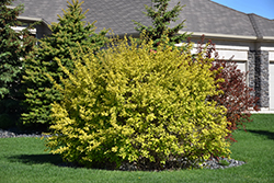 Dart's Gold Ninebark (Physocarpus opulifolius 'Dart's Gold') at Arrowhead Nurseries Ltd.