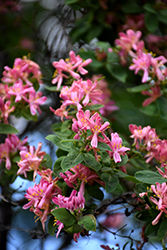Arnold Red Tatarian Honeysuckle (Lonicera tatarica 'Arnold Red') at Arrowhead Nurseries Ltd.