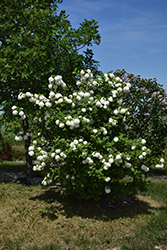Snowball Viburnum (Viburnum opulus 'Roseum') at Arrowhead Nurseries Ltd.