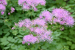 Meadow Rue (Thalictrum aquilegifolium) at Arrowhead Nurseries Ltd.