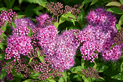 Anthony Waterer Spirea (Spiraea x bumalda 'Anthony Waterer') at Arrowhead Nurseries Ltd.