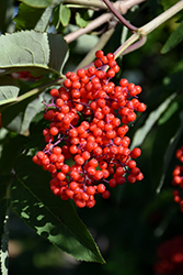 Red-Berried Elder (Sambucus racemosa) at Arrowhead Nurseries Ltd.