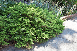 Buffalo Juniper (Juniperus sabina 'Buffalo') at Arrowhead Nurseries Ltd.