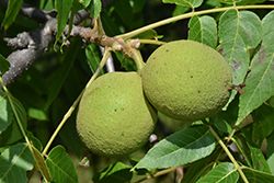 Black Walnut (Juglans nigra) at Arrowhead Nurseries Ltd.