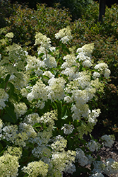 Little Lamb Hydrangea (Hydrangea paniculata 'Little Lamb') at Arrowhead Nurseries Ltd.