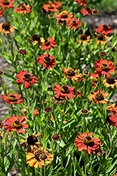 Red Army Sneezeweed (Helenium 'Red Army') at Arrowhead Nurseries Ltd.