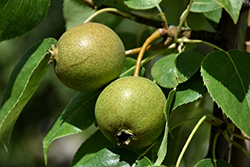 Golden Spice Pear (Pyrus ussuriensis 'Golden Spice') at Arrowhead Nurseries Ltd.