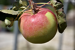 Fall Red Apple (Malus 'Fall Red') at Arrowhead Nurseries Ltd.