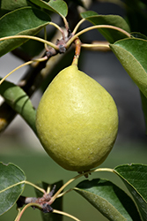 Early Gold Pear (Pyrus ussuriensis 'Early Gold') at Arrowhead Nurseries Ltd.