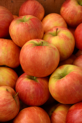 Honeycrisp Apple (Malus 'Honeycrisp') at Arrowhead Nurseries Ltd.