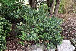 Blue Prince Meserve Holly (Ilex x meserveae 'Blue Prince') at Arrowhead Nurseries Ltd.
